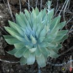 安东尼 Dudleya anthonyi