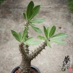 西巴女王玉栉 Pachypodium densiflorum